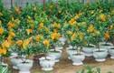 9 loại cây trồng chậu hút tài lộc ngày Tết
