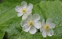 Hoa trong suốt độc lạ khiến khách nữ phát sốt lùng mua