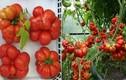 Săn lùng giống cà chua vón cục hiếm có khó tìm