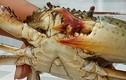 Cua biển 3 càng tiền triệu không bán ở miền Tây
