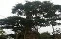 Đại gia gạ đổi biệt thự chục tỷ lấy cây sanh cổ ở Thái Bình