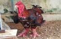 Cách chọn gà Đông Tảo xịn ăn Tết Bính Thân