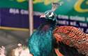 Ngắm loạt chim quý hiếm biếu Tết đắt đỏ gây sốt ở HN