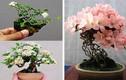 Mãn nhãn ngắm cây bonsai nở hoa rực rỡ