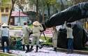 Cận cảnh chăm sóc hoa anh đào Nhật Bản về Hà Nội