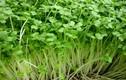 Những loại rau trồng thoải mái dù nhà chật chội