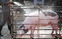 Bên trong trang trại nuôi lợn 5 sao ở Hà Nội