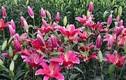 Hàng vạn cây hoa ly ở Sa Pa bị vùi trong tuyết