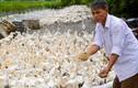 """""""Chúa vịt"""" đất Bắc sản xuất trứng sạch: Mỗi ngày nhặt... cả tải tiền"""