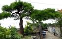 Cận cảnh cây vạn tùng 200 tuổi giá 2 tỷ ở Côn Sơn