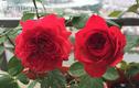 Ban công vỏn vẹn 3m2 trồng 100 gốc hoa hồng đẹp quên sầu