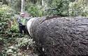 """Thâm nhập rừng Kbang: Tận thấy gỗ khổng lồ bị """"xẻ thịt"""""""