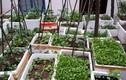 Đã mắt ban công trồng đủ loại rau quả của bà mẹ trẻ Hà Thành