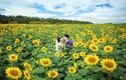 Giới trẻ thích thú với điểm ngắm hoa hướng dương gần Hà Nội