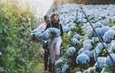 Giới trẻ ùn ùn tới Đà Lạt check-in vườn Cẩm tú cầu