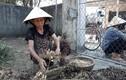 Hà Tĩnh: Lạc mất giá từ 25.000 còn 15.000 đ/kg, chờ giải cứu