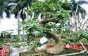 Độc đáo cây đào tiên nhiều người trả giá trên 60 triệu