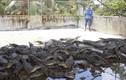 Thảm cảnh hàng vạn con cá sấu bị bỏ đói
