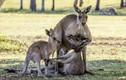 Ảnh động vật tuần: Xúc động kangaroo mẹ ôm con đã chết