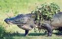 Ảnh động vật tuần: Cá sấu khổng lồ lên bờ tắm nắng