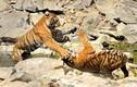 Ảnh động vật tuần: Rắn hổ mang săn mồi điêu luyện