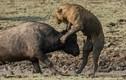 Ảnh động vật tuần: Trâu rừng liều mình tấn công sư tử