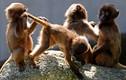 """Ảnh động vật tuần: Sư tử đực bị """"xử"""" phũ phàng, khỉ đùa nghịch"""