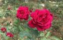 Vườn hồng 20.000 gốc đẹp như tranh vẽ ở ngoại ô Hà Nội