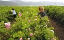 Mê mẩn ngắm những vườn hoa hồng rộng lớn ở Bulgaria