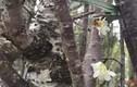 Lễ hội hoa anh đào: Giá mỗi cây bao nhiêu?