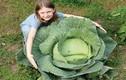 Phát sốt những cây bắp cải khổng lồ ngay trong vườn nhà