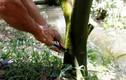 Độc chiêu: Chích thuốc cho cây cam