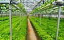 Mướt mắt những vườn rau thuỷ canh bạc tỷ ở Việt Nam