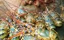 Ảnh: Tôm hùm chết hàng loạt, thiệt hại chục tỷ ở Phú Yên