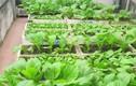 Mát mắt ngắm những vườn rau trong xốp xanh mơn mởn