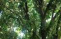 Lạ kỳ cây dâu có quả phủ kín thân, cho bội thu trăm tấn