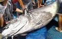 Cá ngừ đại dương khủng giá bèo 30 triệu ở Bình Định