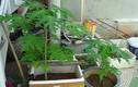 Bỏ túi bí kíp trồng đu đủ trong chậu vẫn sai trĩu quả