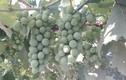 Ngưỡng mộ những vườn quả trĩu trịt trên sân thượng Việt Nam
