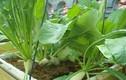 """Cách trồng củ cải to mập mạp, """"đã mắt"""" trong thùng xốp"""