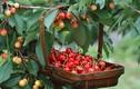 Học cách trồng cherry sai trĩu tại nhà, thu hoạch cả trăm quả