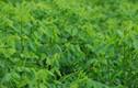 Thu nhập 1 triệu/ngày chỉ nhờ trồng rau ngót