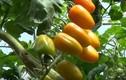 """""""Đột nhập"""" vườn cà chua độc đáo trồng từ sữa tươi"""