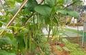 Vườn rau sạch mướt mắt trong biệt thự 2.000m2 của ca sĩ Việt Hoàn