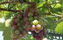 """""""Bỏ túi"""" cách trồng nho trên sân thượng sai trĩu quả"""