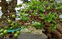 Choáng váng những cây ổi cổ thụ bạc tỷ ở Việt Nam