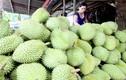 Những lần Trung Quốc thu mua trái cây non lạ lùng ở  Việt Nam