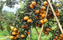 Những vườn cam trĩu quả thu tiền tỷ của nông dân Việt