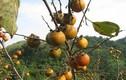 Ngắm vườn hồng trĩu quả thu bạc triệu trên đất Lạng Sơn