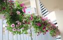 Những loại hoa làm đẹp ban công ngày Tết